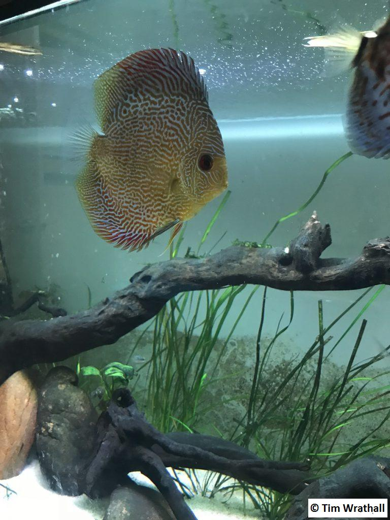 Red Snakeskin Discus - my favorite.